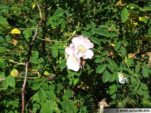 Des roses au naturel