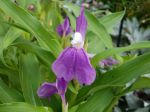 Gingembre orchidée, Roscoea auriculata