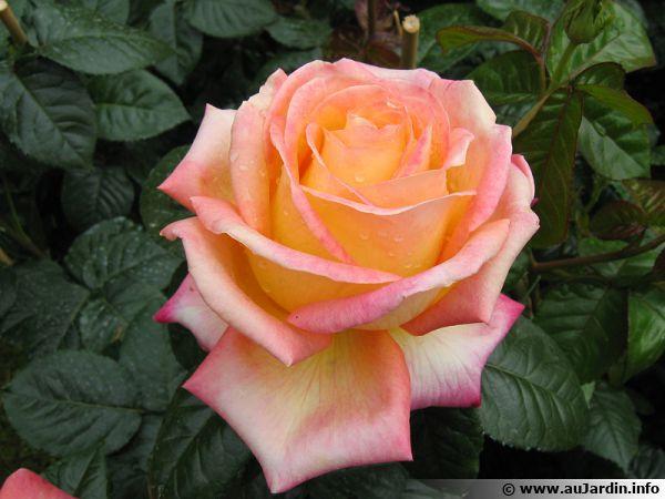 Les rosiers sont bien souvent protégés