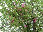 Planter un rosier liane auprès d'un grand arbre