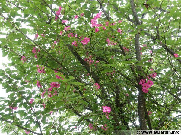 Un rosier qui grimpe aux arbres ...
