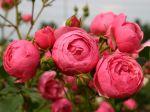 Le label ADR pour des rosiers résistants