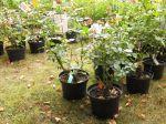 Les plantes en conteneurs