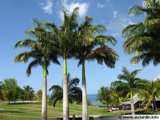 Palmier royal roystonea regia - Type de palmier ...