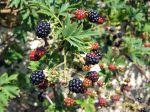 Ronce a mûres, Ronce fruitière, Rubus fruticosus