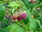 Framboisier (Framboise), Rubus idaeus, Rubus strigosus