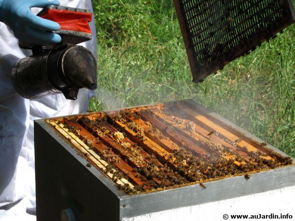 La propolis fabriquée par les abeilles stimule les défenses de l'organisme