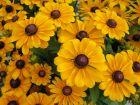 Comment planter et multiplier le rudbeckia?
