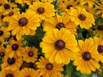 Comment planter et multiplier le rudbeckia ?