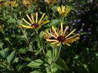 Rudbeckia doux, Echinacée douce, Rudbeckia subtomentosa
