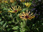 Rudbeckia doux, Echinacée douce, Rudbeckia subtomentosa 'Little Henry'