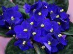 Violette du Cap, Saintpaulia ionantha