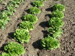 Comment semer les salades en place?
