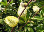 Saule Marsault pleureur, Salix caprea 'Kilmarnock'