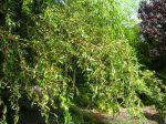 Saule tortueux, Salix matsudana 'Tortuosa'