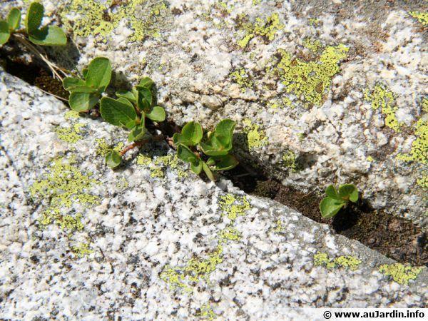 Le saule des Pyrénées, un arbre qui mesure de 20 à 50cm
