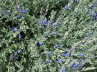 Sauge germandrée, Sauge bleue du Mexique, Salvia chamaedryoïdes