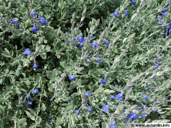 Sauge germandr e sauge bleue du mexique salvia chamaedryo des - Planter de la sauge ...