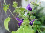 Sauge des bois japonaise, Makino, Salvia glabrescens