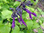 Sauge guarani, Salvia guaranitica, Salvia concolor