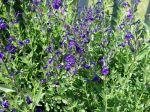 Sauge arbustive violette, Sauge des canyons, Sauge violette royale, Salvia lycioides