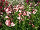 Sauge de Graham, Salvia microphylla