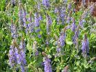 Sauge des bois, Salvia nemorosa