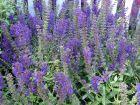 Sauge des près, Sauge commune, Salvia pratensis