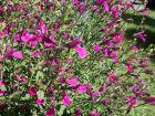Sauge à feuilles de serpolet, Sauge de Graham violette, Salvia serpyllifolia