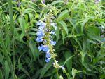 Sauge des marais, Sauge uligineuse, Salvia uliginosa