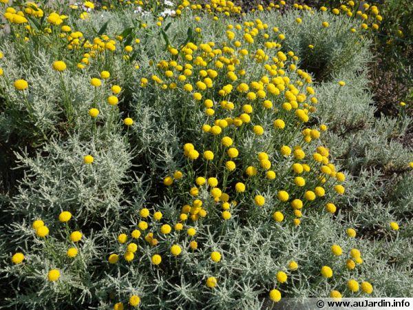 Santoline petit-cyprès, Santolina chamaecyparissus