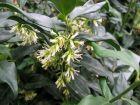 Sarcocoque à feuilles de ruscus, Sarcococca ruscifolia
