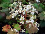 Saxifrage japonais, Saxifraga fortunei
