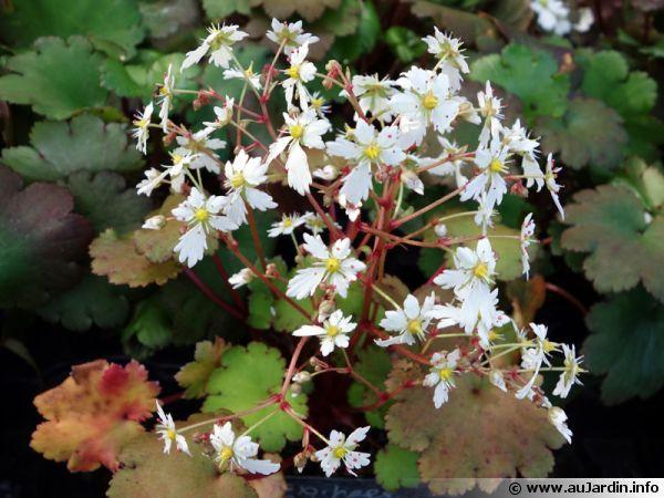 saxifrage japonais  saxifraga fortunei   planter  cultiver