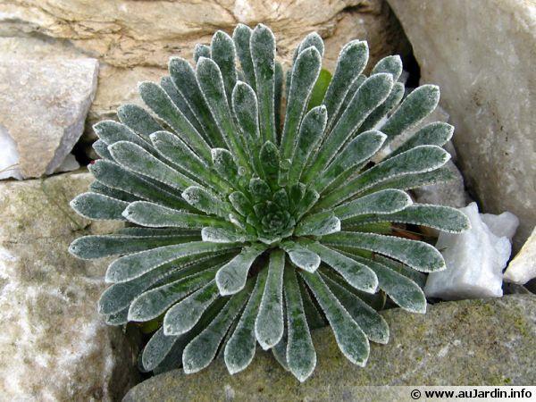Saxifrage des Pyrénées, Saxifraga longifolia