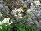 Saxifraga paniculata, Saxifrage paniculé, saxifrage aizoon, saxifrage en panicules
