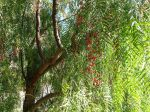 Faux-poivrier odorant, Poivrier de Californie, Poivrier du Pérou, Schinus molle