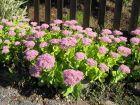 Orpin des jardins, Orpin d'automne, Sedum spectabile