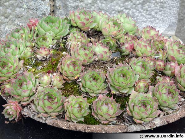 Joubarbe sempervivum conseils de culture for Plantes grasse exterieur