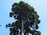 Séquoia géant, Sequoïadendron giganteum