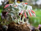 Edelweiss du Brésil, Sinningia leucotricha