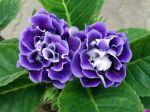 Gloxinia des fleuristes, Gloxinia �l�gant, Sinningia speciosa