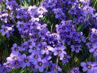 Bermudienne à feuilles étroites, Herbe aux yeux bleus, Sisyrinchium angustifolium