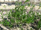 Morelle douce-amère, Solanum dulcamara