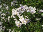 Morelle faux jasmin, Solanum jasminoides