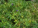 Solanum laciniatum