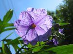 Fleur de Solanum laciniatum