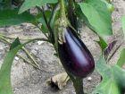 Le calendrier de culture de l'aubergine