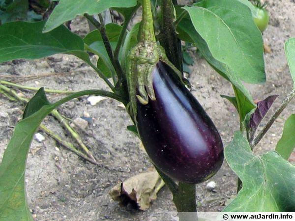 Le calendrier de culture du poivron - Quand planter les poivrons ...