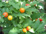 Pommier d'amour, Cerisier d'amour, Oranger de savetier, Solanum pseudocapsicum